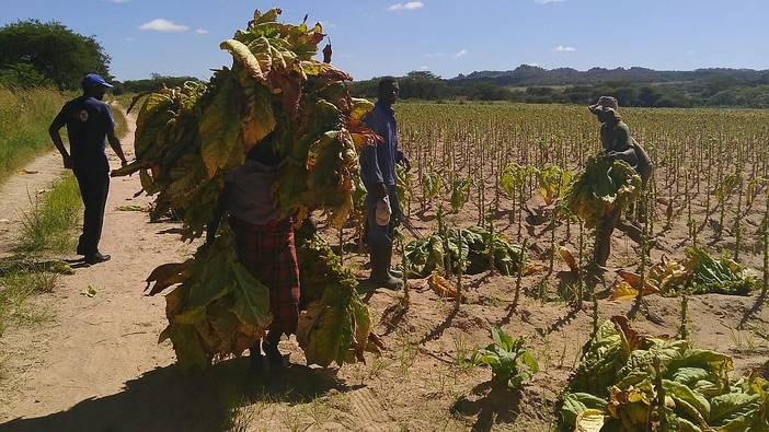 Tobacco Harvesters in Zimbabwe
